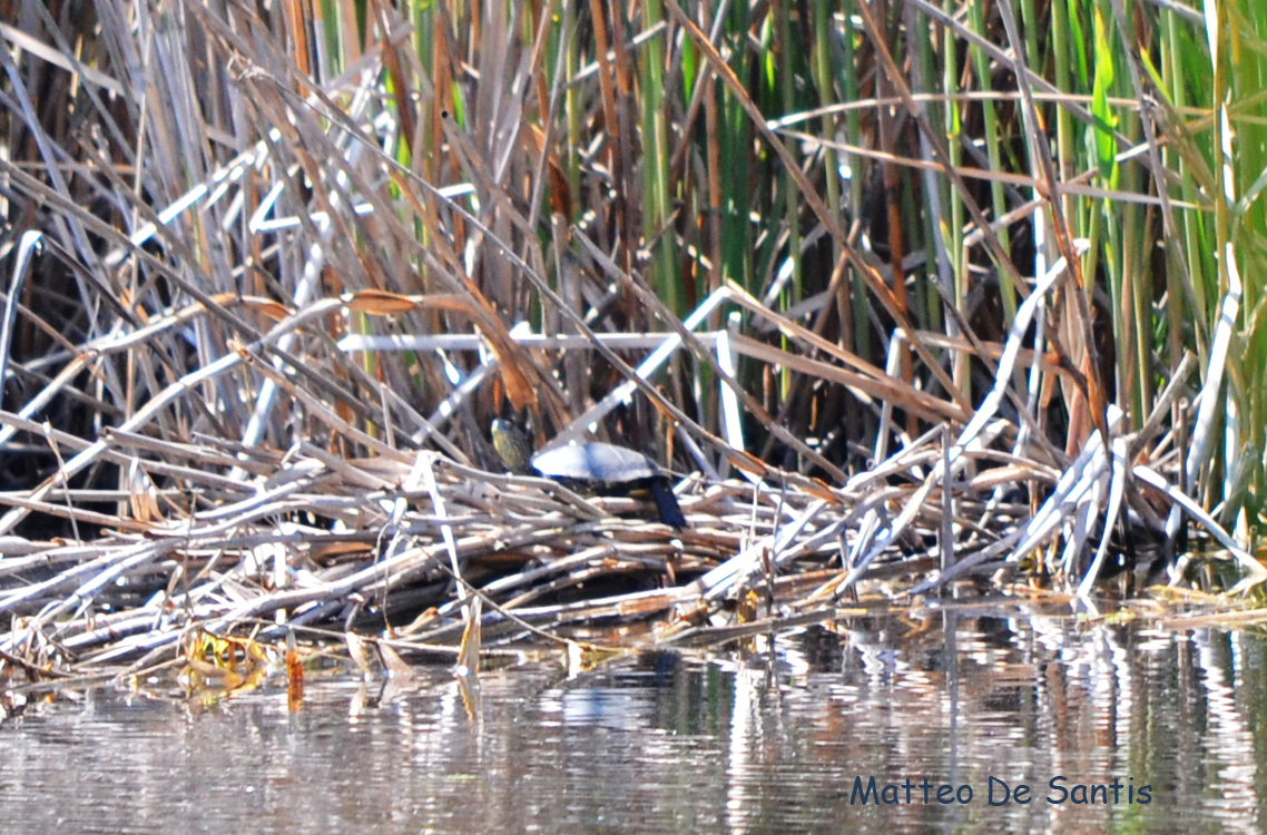 Osservazione di testuggine palustre (Emys orbicularis) nel LazioMeridionale