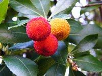 La frutta silvana