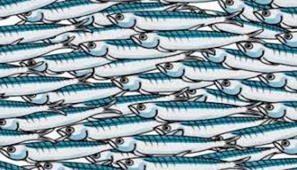 sardine-grande