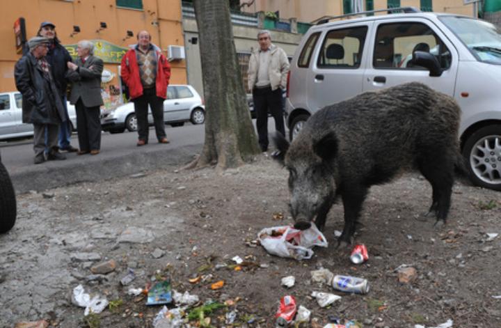 Cinghiali: Coldiretti, 8 italiani su 10 favorevoliabbattimenti