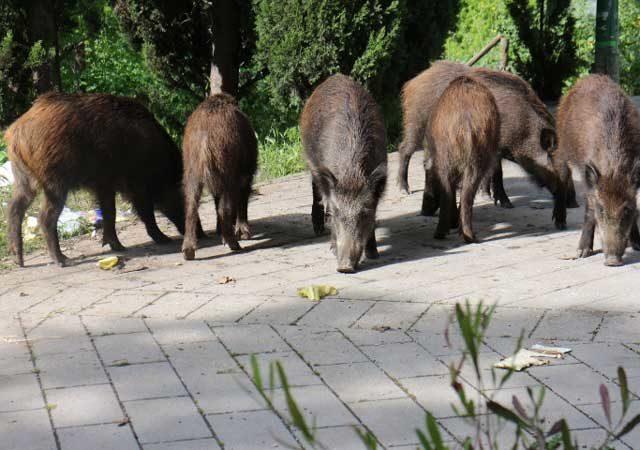 La problematica dell'aumento della presenza di fauna selvatica anche in contesti non consueti è una criticità che si registra sul tutto il territorionazionale